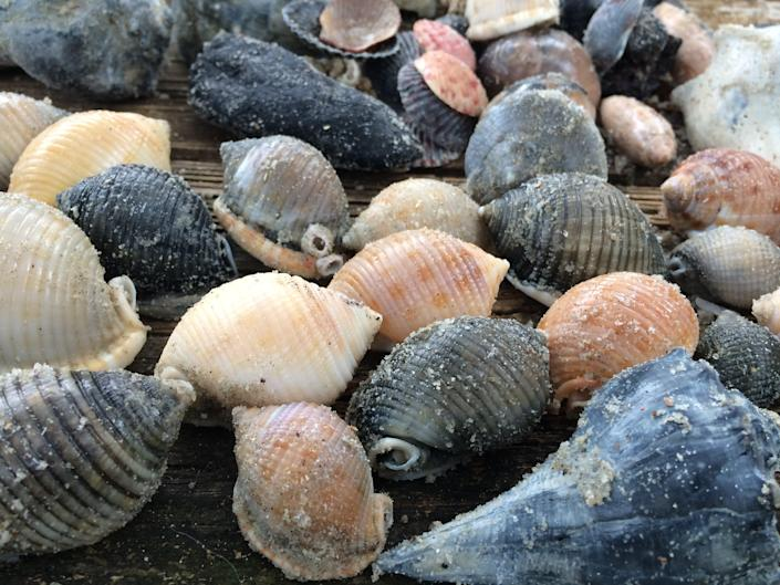 There's fine shell hunting on Ocracoke and Portsmouth Island, North Carolina.