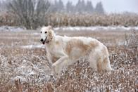 "<p>The <a href=""https://www.akc.org/dog-breeds/borzoi/"" rel=""nofollow noopener"" target=""_blank"" data-ylk=""slk:Borzoi"" class=""link rapid-noclick-resp"">Borzoi</a> is a breed that's known for its beautiful coat and regal bearing. While they are known for their silence, they have strong hunting instincts and this means they require daily exercise.</p>"