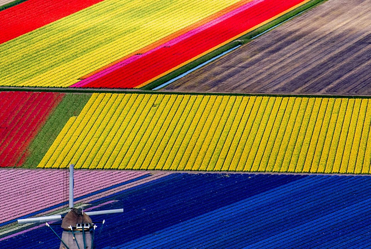 <p>Colourful flower fields cross over each other in Lisse, The Netherlands. (Rex Features) </p>