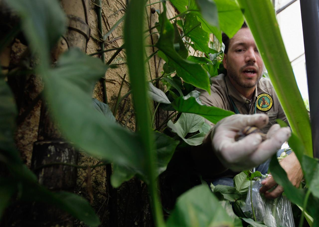 MIAMI, FL - SEPTEMBER 15:  Dr. Trevor Smith, Florida Department of Agriculture, picks up a Giant African land snail as he works on eradicating a population of the invasive species in Miami-Dade County on September 15, 2011 in Miami, Florida. The Giant African land snail is one of the most damaging snails in the world because they consume at least 500 different types of plants, can cause structural damage to plaster and stucco, and can carry a parasitic nematode that can lead to meningitis in humans.  The snail is one of the largest land snails in the world, growing up to eight inches in length and more than four inches in diameter.  (Photo by Joe Raedle/Getty Images)