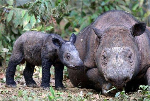 In this Saturday, June 23, 2012 photo released by International Rhino Foundation, female Sumatran rhino named Ratu walks with her newly-born calf at Sumatran Rhino in Way Kambas National Park in Lampung, Indonesia. Ratu, a highly endangered Sumatran rhinoceros, gave birth to the calf Saturday in western Indonesia, a forestry official said. It is only the fifth known birth in captivity for the species in 123 years. (AP Photo/International Rhino Foundation)