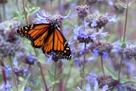 """<p><strong>Monarch Butterfly</strong><br><br>These distinctive <a href=""""https://www.countryliving.com/gardening/g4254/pollinator-garden/"""" rel=""""nofollow noopener"""" target=""""_blank"""" data-ylk=""""slk:pollinators"""" class=""""link rapid-noclick-resp"""">pollinators</a> are some of the most recognizable butterflies on the planet.</p>"""
