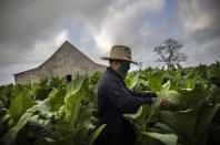 Wearing a mask amid the COVID-19 pandemic, Roberto Armas Valdes harvests tobacco leaves at the Martinez tobacco farm in the province of Pinar del Rio, Cuba, March 1, 2021. In Cuba's eastern province of Pinar del Rio, world-renown for growing the tobacco that made Cuban cigars famous, sits the small, quaint town of Viñales. (AP Photo/Ramon Espinosa)