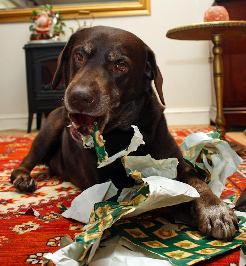Dog chewing into Christmas wrapping paper as pet owners warned against leaving treat-filled presents on the ground.
