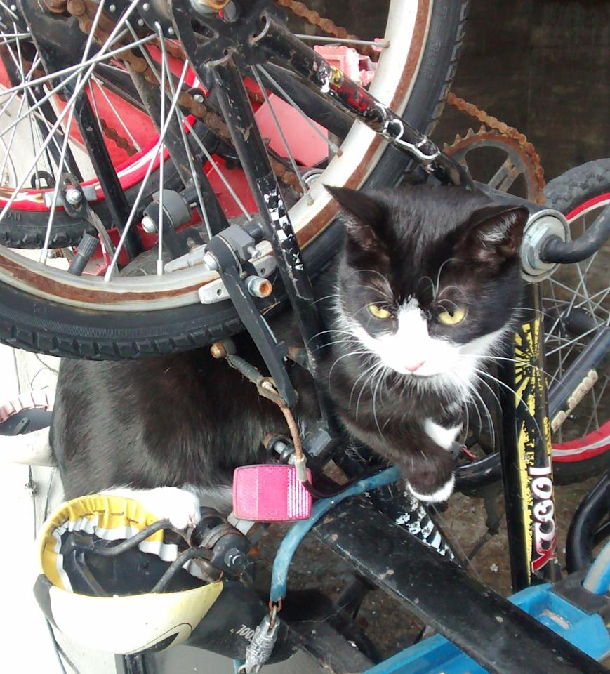 <p>A rather embarrassed puss had to be helped after getting wedged in the frame of a bicycle. RSPCA animal collection officer Prisca Giddens was called by the Met Police who found him stuck in the frame of the mountain bike in Greenford, London, on <span><span>23 February</span></span>. Prisca said: 'A delivery driver had called police after spotting the puss in a bit of a pickle!<br />The bike was chained up outside a house but the frame was upside down, hanging over a balcony. The cat had his head and front legs stuck on one side of the bike.' Luckily, the puss was freed and hadn't suffered any injuries so was released back onto the streets. At least on this occasion, curiosity didn't kill the cat. (RSPCA) </p>