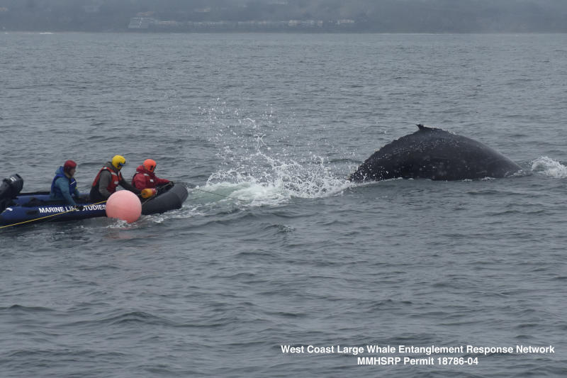 Entangled Whale Rescued