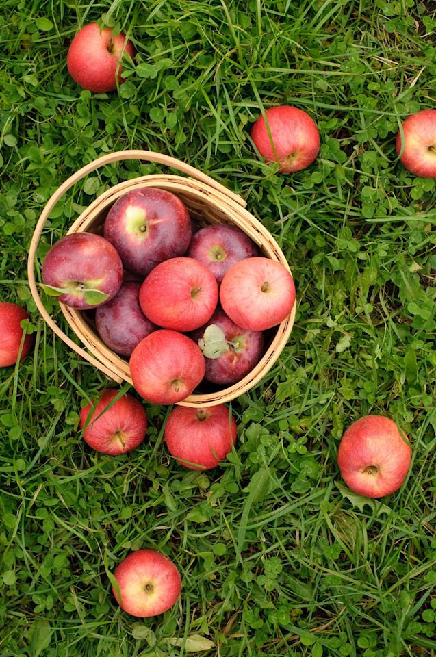 "<p>Looking for a beautiful orchard or the best apples in your region? Check out <a rel=""nofollow"" href=""http://www.countryliving.com/life/travel/g2623/apple-picking/"">this list</a> of the best apple-picking spots around the country. </p>"