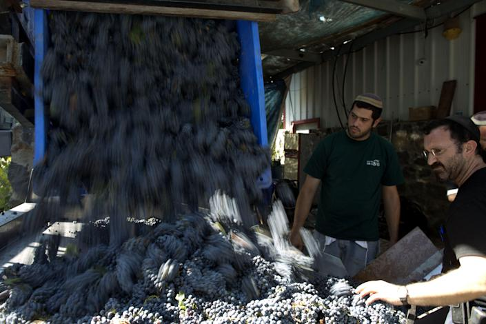Religious Jews process just-harvested cabernet sauvignon grapes for the Bazelet Hagolan Winery at Kidmat Tzvi in the Israeli-annexed Golan Heights on September 20, 2012 (AFP Photo/Menahem Kahana)