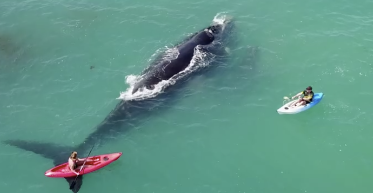 "<p>Two kayakers off the coast of Perth can be seen becoming a bit too passionate about whales in a video shared to social media on Sunday, September 17, inviting injury to get an up-close look at a mother and her calf.</p><p>The enthusiasts risked both their lives and their bank balances getting within 100 metres of the animals.</p><p>""The whales are normally pretty protective so that's why I got the drone out because I thought something might happen,"" Michael Mccormick, who recorded the video, told <a href=""http://www.perthnow.com.au/news/western-australia/kayakers-gets-too-close-to-whale-and-calf-off-hillarys/news-story/1d3b5537b9710692a318606b50551cdc"" target=""_blank"">Perth Now</a>.</p><p>""If it slapped its tail it would have been a pretty hard hit.""</p><p>Southern right whales have a special status under <a href=""https://www.slp.wa.gov.au/legislation/statutes.nsf/main_mrtitle_1080_homepage.html"" target=""_blank"">Australia's Wildlife Conservation Act</a>. Disturbing them can result in fines of up to  $10,000. Credit: Michael McCormick via Storyful</p>"