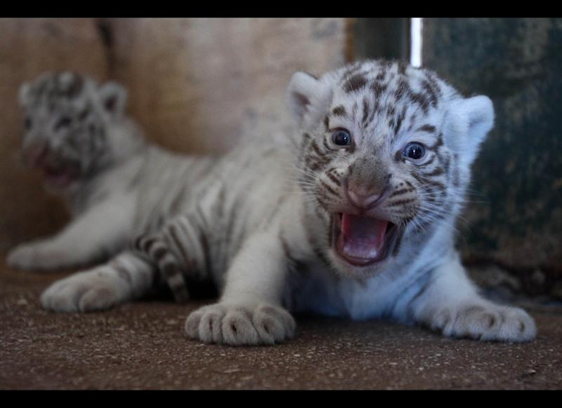 Two-month old white tiger cubs roar at the Attica Zoological Park in Spata, near Athens, Friday, June 29, 2012. (AP Photo/Thanassis Stavrakis)
