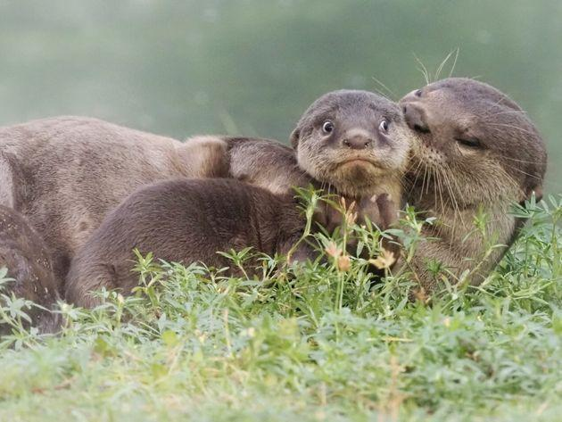 """""""It's the Last Day of School Holidays"""" is an image of smooth-coated otters in Singapore."""