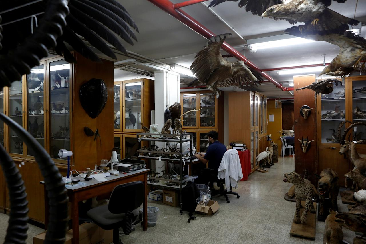 Taxidermied animals are seen as Asaf, a collection manager works at Tel Aviv University's Zoological centre works on a collection which will be housed at the Steinhardt Museum of Natural History, a new Israeli natural history museum set to open next year in Tel Aviv, Israel June 8, 2016. Picture taken June 8, 2016. REUTERS/Nir Elias