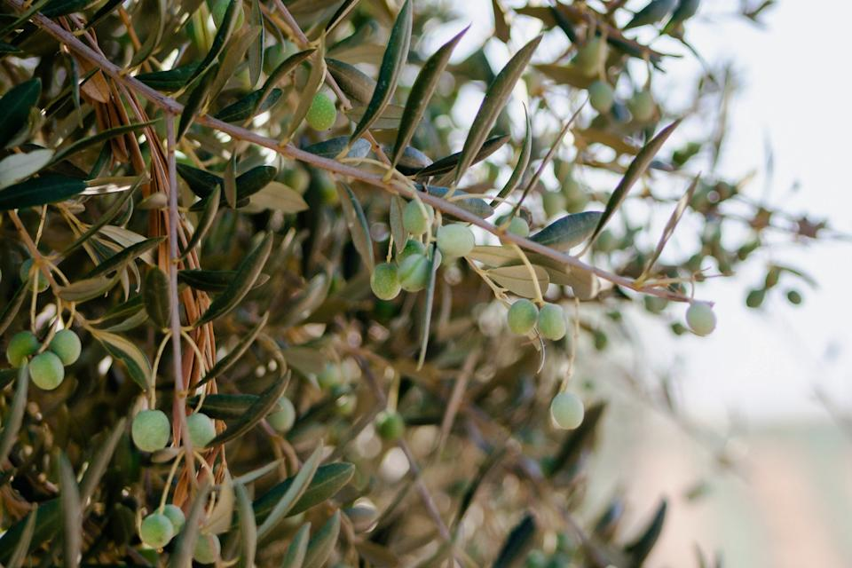 """<h1 class=""""title"""">olive-branches-california-olive-ranch.jpg</h1><cite class=""""credit"""">Photo via California Olive Ranch</cite>"""