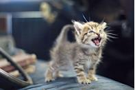 <p>This little kitten is demanding to be heard, and we are all ears. </p>