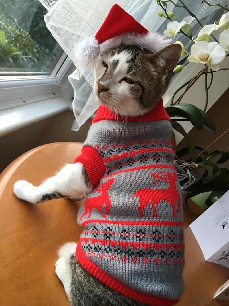 Cat Christmas Sweater.People Are Dressing Cats In Adorable Christmas Sweaters And