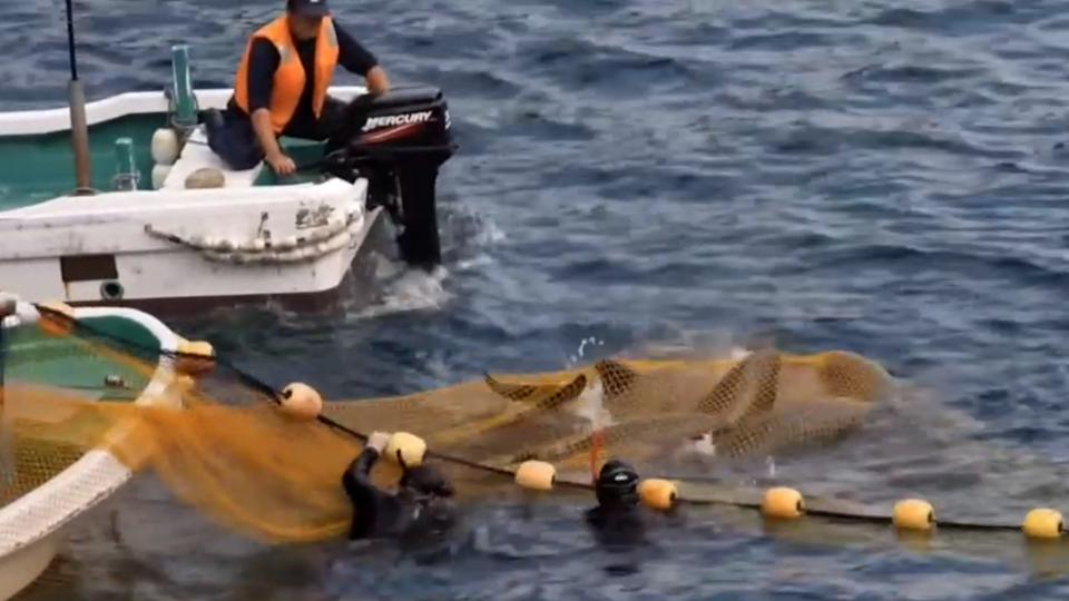 Two hunters have corralled a group of whales under a net.