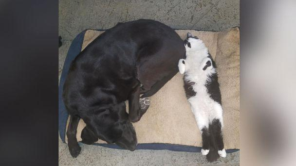 PHOTO: The staff at Support Dogs, Inc. calls DOG the 'heat seeker' because he loves to snuggle with the dogs on their beds. (Support Dogs Inc.)