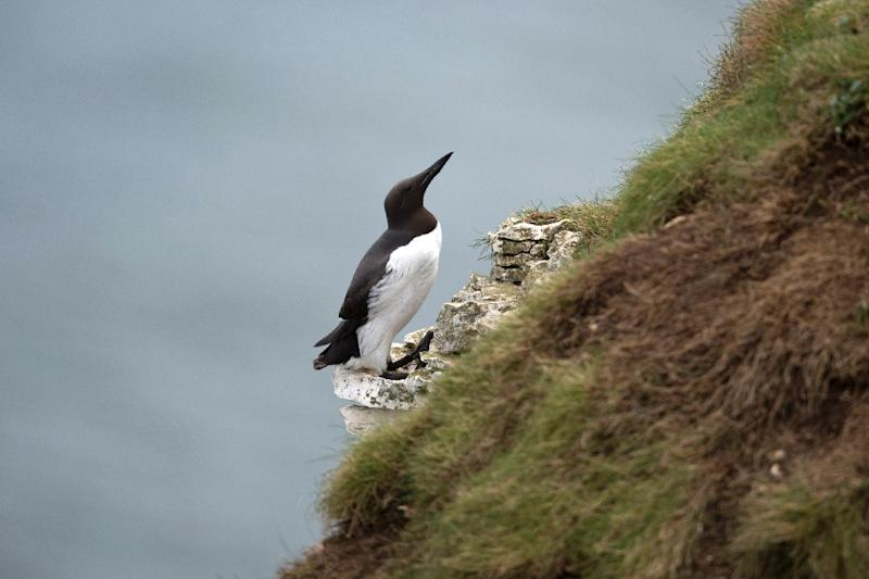 High winds and stormy winter seas could affect guillemots' feeding patterns, experts said