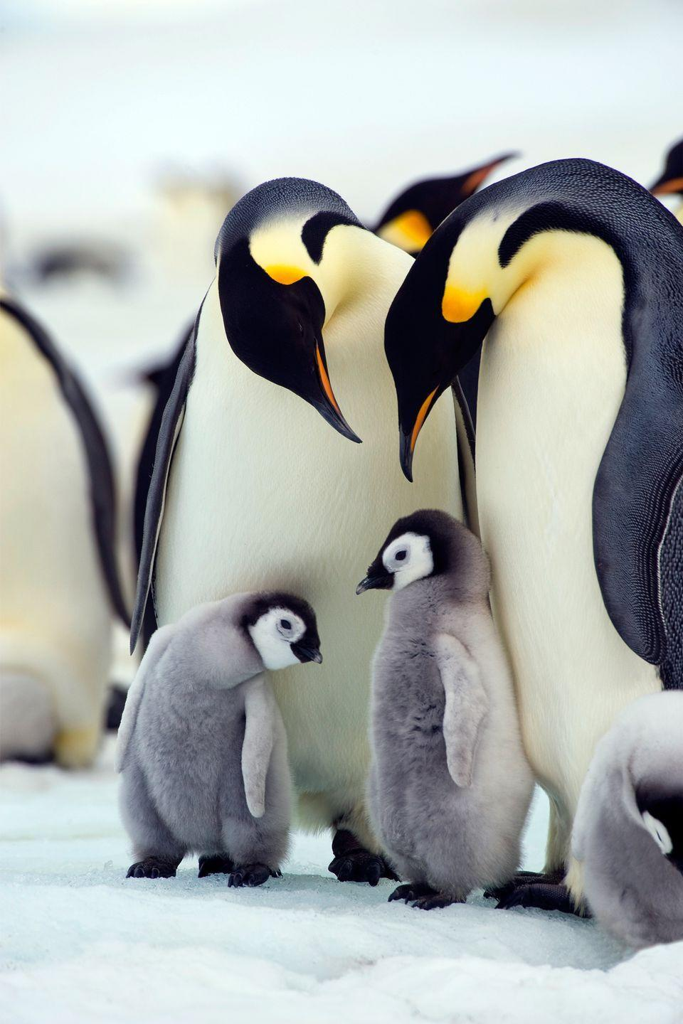<p>Emperor penguins live in the Arctic, arguably one of the cruelest environments, where it can get below -40 degrees Fahrenheit on the regular. They inhabit the ice and ocean that surrounds them, and have become experts at surviving. They dive up to 1,755 feet for food in water that's well below freezing.</p>