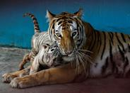 Bengal tiger Fiona gave birth to four cubs: Yanek, a white tiger, her sisters Melissa and Gaby, and a brother, Miguel