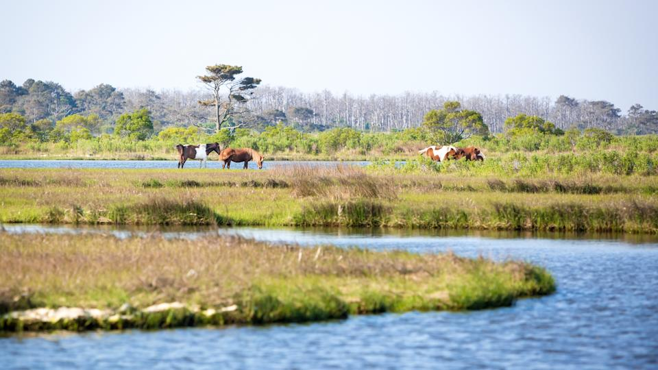Scenic view of a marsh at Assateague Island National Seashore, Maryland with a group of wild ponies (Equus caballus) in the distance - Image.