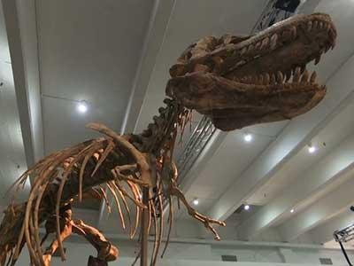 A skeleton of a Tyrannosaurus bataar, a distant cousin to the infamous T-rex, is going to be auctioned off by Heritage Auctions on Sunday May 20th in New York City. (May 16)