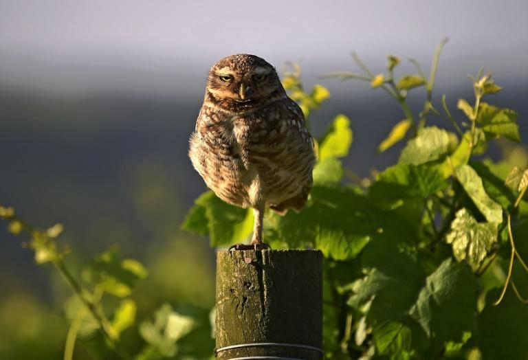 An owl is seen at the Familia Geisse vineyard in Brazil, where sparkling wine production could be threatened by a tread deal between the European Union and the Mercosur economic and political bloc