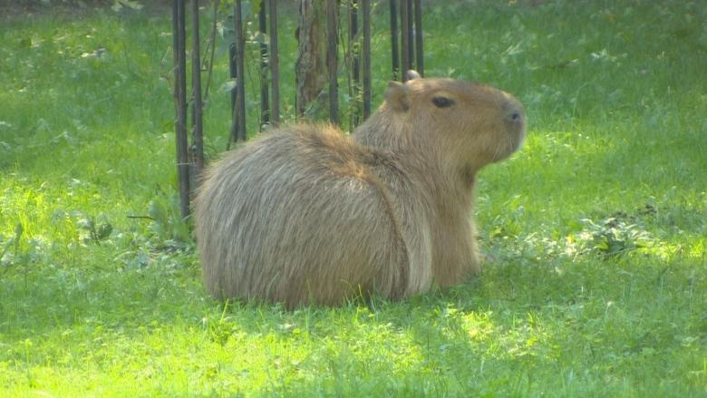 High Park capybaras getting renovations that could keep them at home