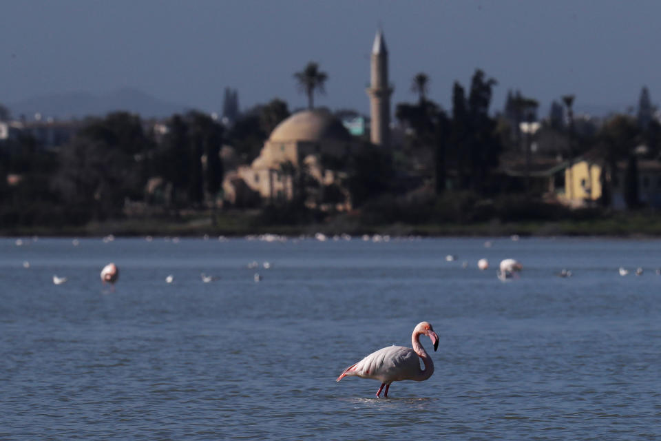 A flamingo stands at a salt lake with the Hala Sultan Tekke Mosque in the background, which was built between 1760 and 1796, in the southern coastal city of Larnaca, in the eastern Mediterranean island of Cyprus, Sunday, Jan. 31, 2021. Conservationists in Cyprus are urging authorities to expand a hunting ban throughout a coastal salt lake network amid concerns that migrating flamingos could potentially swallow lethal quantities of lead shotgun pellets. (AP Photo/Petros Karadjias)