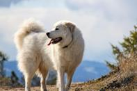 <p>The <span>Great Pyrenees</span> is of colossal size (measuring up to 30 inches from shoulder to shoulder, and weighing 100 pounds or more) but these majestic dogs are not boisterous—instead, they're famously calm and dignified. Once, these herder companions helped deter wolves and other predators. Today, Pyrs are mellow guardians of home and family.</p>