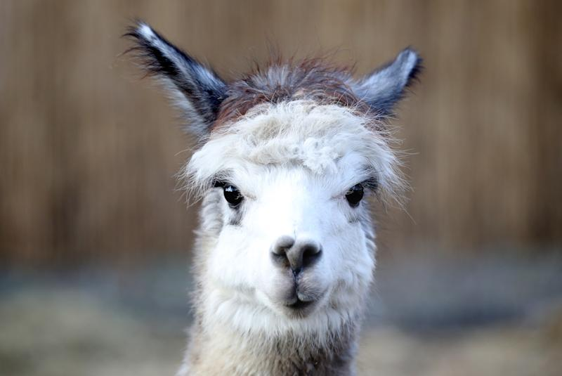MOSCOW, RUSSIA - DECEMBER 1, 2019: A huacaya alpaca at the Alpaca Park opened as part of the Skazka [Fairy Tale] Family Park in Krylatskoye, western Moscow. Mikhail Tereshchenko/TASS (Photo by Mikhail Tereshchenko\TASS via Getty Images)