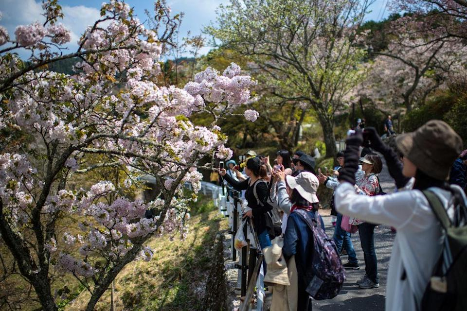 YOSHINO, JAPAN – APRIL 03: Visitors view cherry blossom on Mount Yoshino on April 3, 2018 in Yoshino, Japan. The town of Yoshino in Nara Prefecture has become famous throughout Japan for the thousands of cherry trees that blossom in the spring covering the slopes of Mount Yoshino and nearby hillsides. The cherry blossom is deeply symbolic in Japan, it only lasts for around one week and marks the beginning of spring. It draws millions of visitors to picturesque blossom sites around the country and is mapped by meteorological agencies as the blossom spreads north from Okinawa with the warmer spring weather. (Photo by Carl Court/Getty Images)