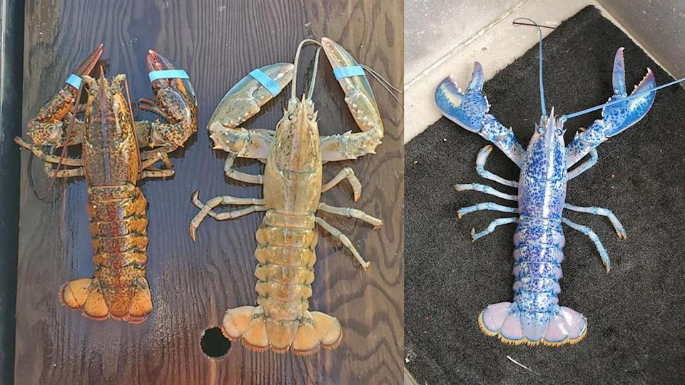 Canadian fisherman catches trifecta of rare lobsters in same season