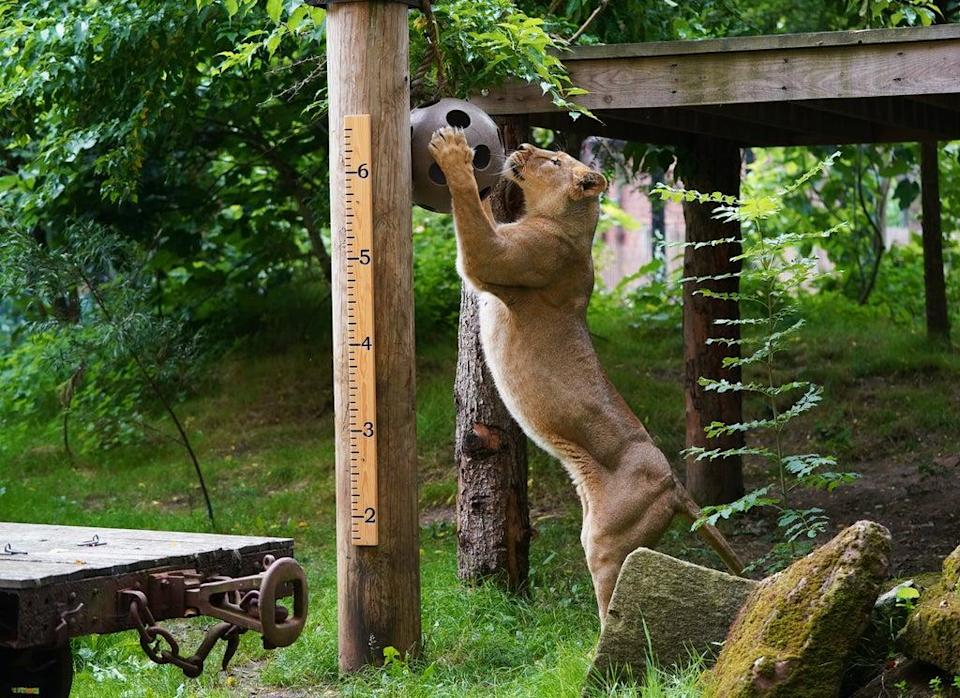 Asiatic lioness Arya plays ball during the annual weigh-in at ZSL London Zoo (Yui Mok/PA) (PA Wire)