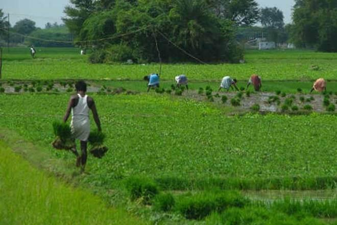 monsoon, rain , India monsoon, crop production, kharif crops sowing area, sugarcane, cotton, rice, pulses, oil seeds,