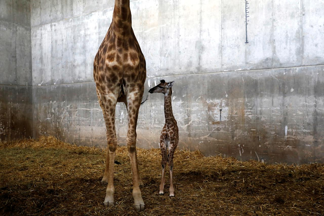 """<p>Toy, a 10-day-old female giraffe named after Israeli singer and Eurovision Song Contest winner Netta Barzilai's song """"Toy"""", spotted with its mother Laila in their pen at Jerusalem's Biblical Zoo. (REUTERS/Ronen Zvulun) </p>"""