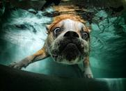 A bulldog looks bug-eyed under the water.