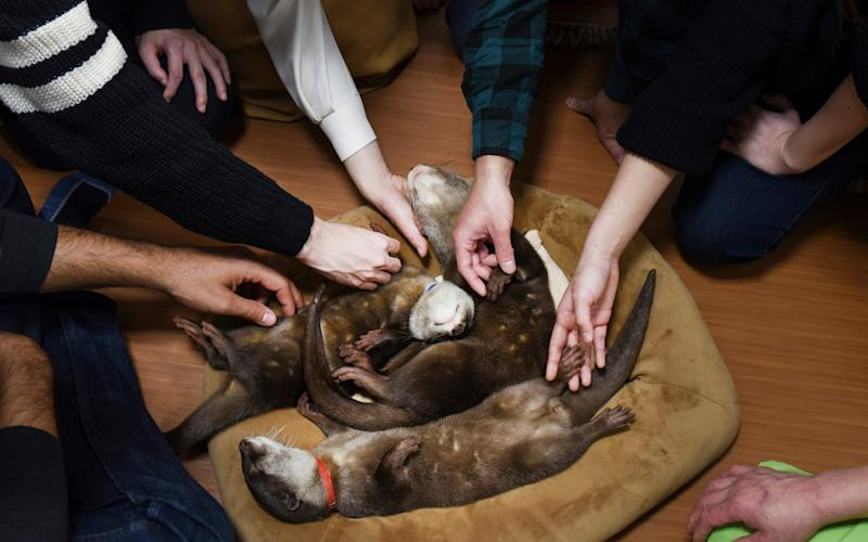 Customers with sleeping otters at an otter cafe in Tokyo - NYTNS / Redux / eyevine