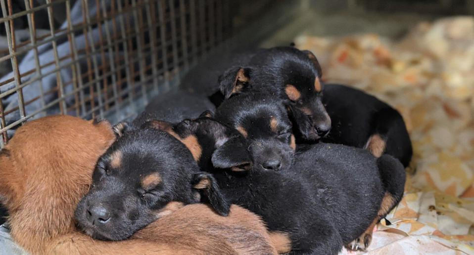 Puppies found in a bin at a remote South Australian rest stop.