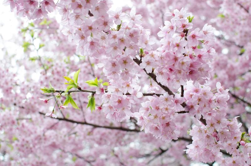 In early April,  70 per cent of Toshino cherry trees are open. The blooming period can last up to 14 days.