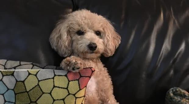 Maci, a four-year-old poodle-bichon mix, was the first dog in Canada to test positive for COVID-19.