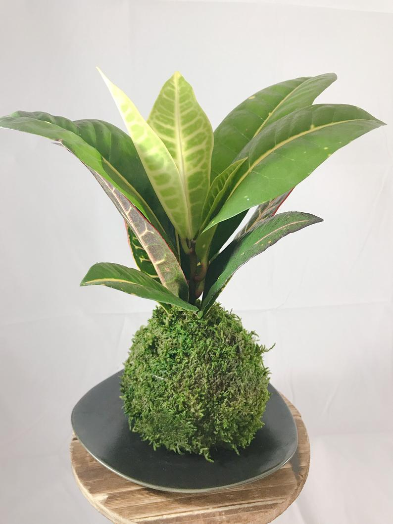 """<h3><h2>Croton Petra</h2></h3><br><strong>Why She'll Love It</strong><br>For the bold and beautiful moms out there, this statement-making top-seller is exotic gifting gold with its multi-colored leaves and moss-ball planter.<br><br><strong>Care</strong><br>This leafy-green stunner is described as requiring """"a bit of extra care to flourish"""" — think bright sunlight, moderate temperatures, and regular watering when the soil dries up.<br><br><em>Shop</em><strong><em> <a href=""""https://www.etsy.com/shop/KodamaForest"""" rel=""""nofollow noopener"""" target=""""_blank"""" data-ylk=""""slk:KodamaForest"""" class=""""link rapid-noclick-resp"""">KodamaForest</a></em></strong><br><br><strong>KodamaForest</strong> Croton Petra Kokedama In Moss-Ball Planter, $, available at <a href=""""https://go.skimresources.com/?id=30283X879131&url=https%3A%2F%2Fwww.etsy.com%2Flisting%2F617574447%2Fcroton-petra-kokedama-moss-ball-with"""" rel=""""nofollow noopener"""" target=""""_blank"""" data-ylk=""""slk:Etsy"""" class=""""link rapid-noclick-resp"""">Etsy</a>"""