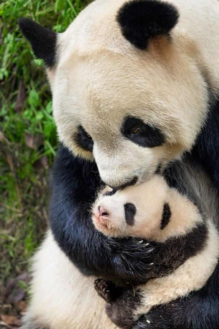 "Giant pandas in Disneynature's ""Born in China."""