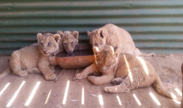 While the selling of wild lion bones is illegal, the practice of slaughtering captive bred lions for the same reason is allowed across South Africa (HUMANE SOCIETY INTERNATIONAL/AFRICA)