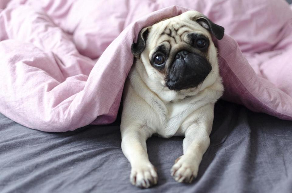 A Pug dog laying in a bed under a blanket