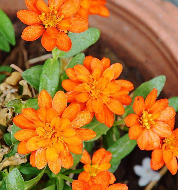 "<p>If you're looking for annuals that thrive on neglect, choose marigolds! They don't mind heat or drought and will last until the first hard freeze. Their bright colors really pop in planters! Pinch off the spent flowers to keep them blooming.</p><p><a class=""link rapid-noclick-resp"" href=""https://www.amazon.com/Sow-Right-Seeds-Collection-Crackerjack/dp/B083DJ3DFD/ref=sr_1_1?crid=3LL1GOVWHGP1N&dchild=1&keywords=marigolds+live+plants&qid=1611351780&sprefix=marigolds%2Caps%2C173&sr=8-1&tag=syn-yahoo-20&ascsubtag=%5Bartid%7C10050.g.30420939%5Bsrc%7Cyahoo-us"" rel=""nofollow noopener"" target=""_blank"" data-ylk=""slk:SHOP MARIGOLDS"">SHOP MARIGOLDS</a></p>"