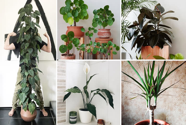 Photo of philodendron, pilea, rubber plant, dragon tree and peace lily