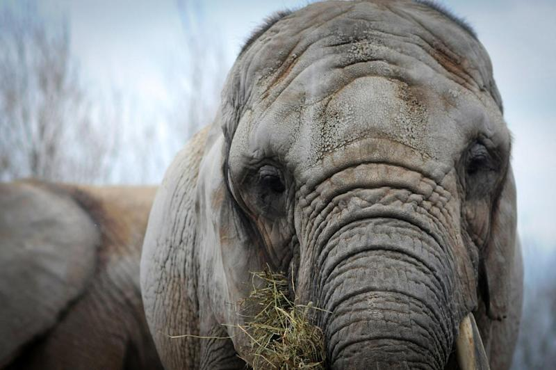 In this image taken on April 5, 2011 provided by PAWS/Zoocheck Canada, an African elephant, Toka, age 41, is shown in the Toronto Zoo in Toronto, Canada. Toka is being retired from the zoo after 37 years, and will be flown on Aug. 2, 2012 to PAWS' 2,300-acre sanctuary in San Andreas, Calif. (AP Photo/PAWS/Zoocheck Canada, Jo-Anne McArthur)