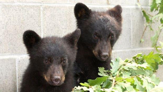 Casavant was ordered to kill these two bear cubs after their mother was killed for becoming habituated to human food and garbage.