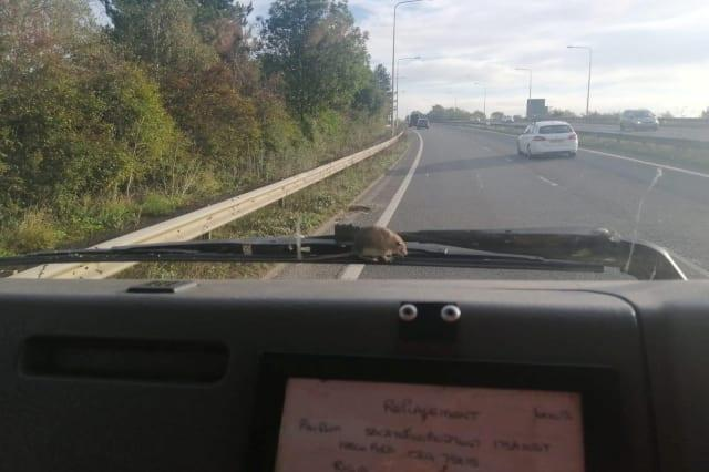 Mum gets a shock when a brave little mouse runs up and down her windscreen wipers